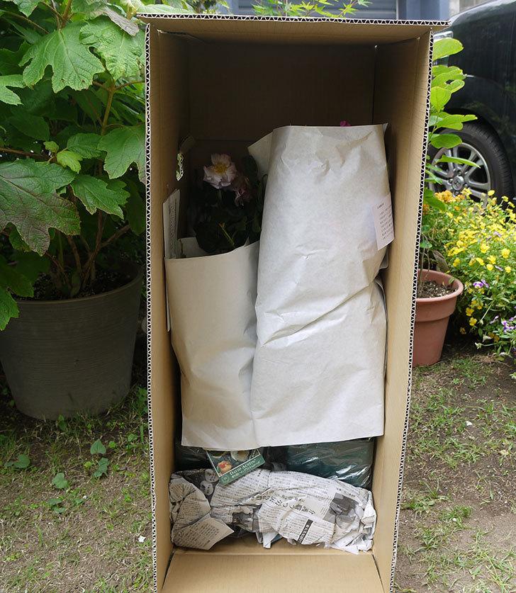 ブルーランブラー(ツルバラ)の開花株を楽天のバラの家で買った。2016年-7.jpg