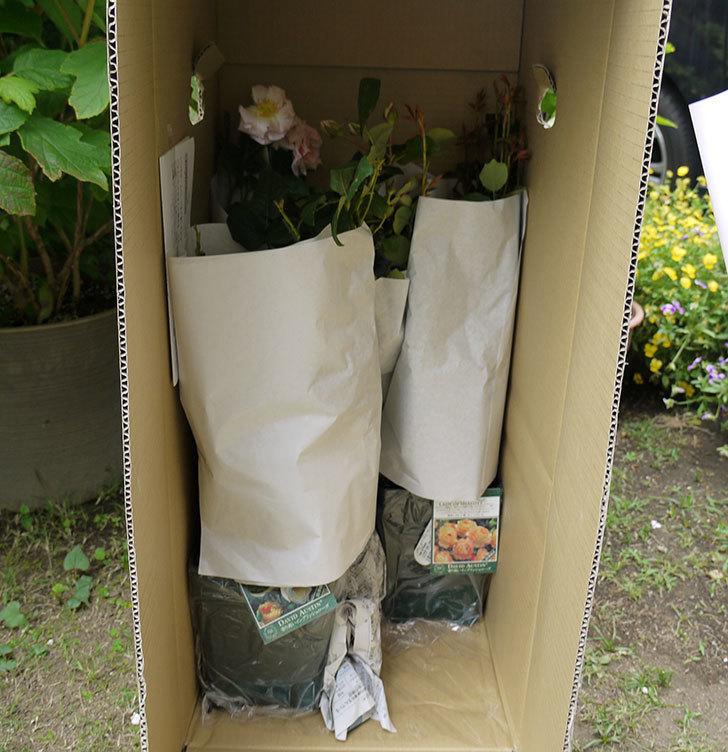 ブルーランブラー(ツルバラ)の開花株を楽天のバラの家で買った。2016年-8.jpg