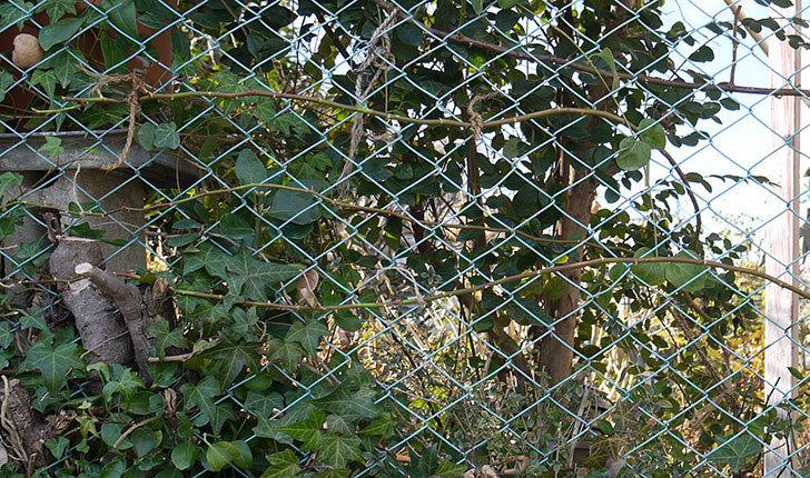 ブルーランブラー(ツルバラ)をフェンスに誘引した。2017年-1.jpg