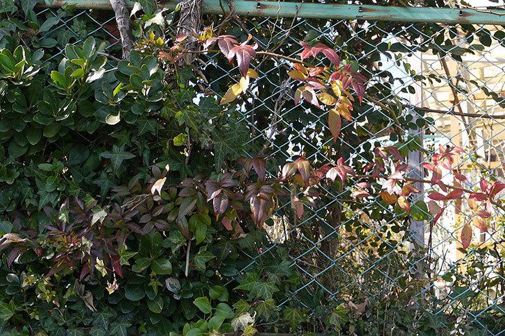 ブルーランブラー(ツルバラ)をフェンスに誘引した。2017年-2.jpg