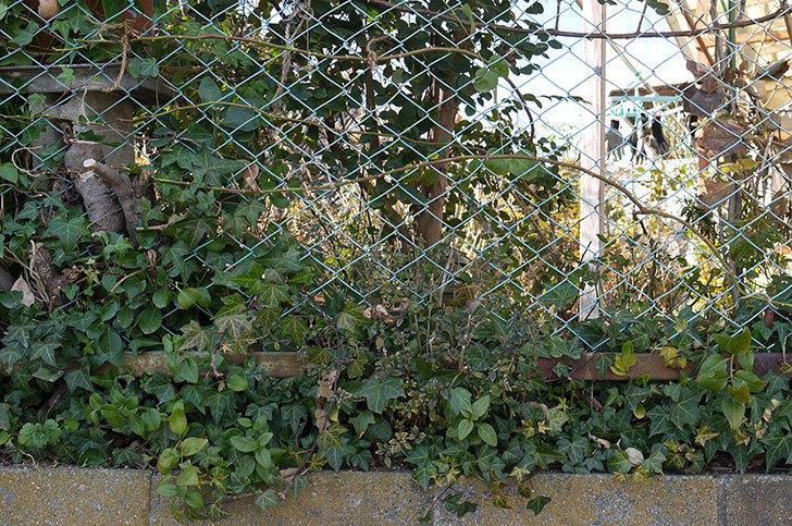 ブルーランブラー(ツルバラ)をフェンスに誘引した。2017年-6.jpg