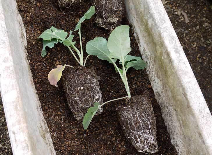 ブロッコリー-緑嶺の苗をプランターに植えた1.jpg
