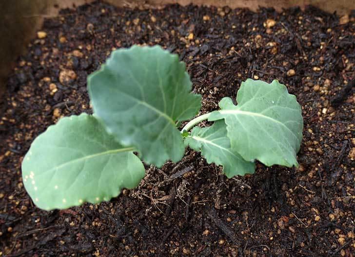 ブロッコリー-緑嶺の苗をプランターに植えた4.jpg