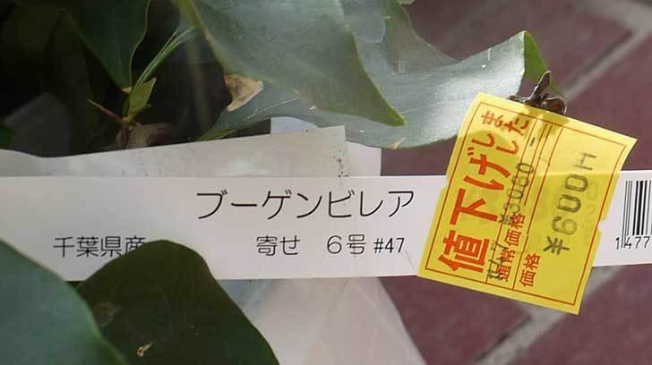 ブーゲンビリアがホームズで600円だったので買って来た5.jpg
