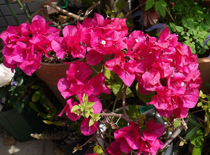 ブーゲンビリアが咲いた。2016年-1.jpg