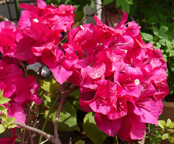 ブーゲンビリアが咲いた。2016年-3.jpg