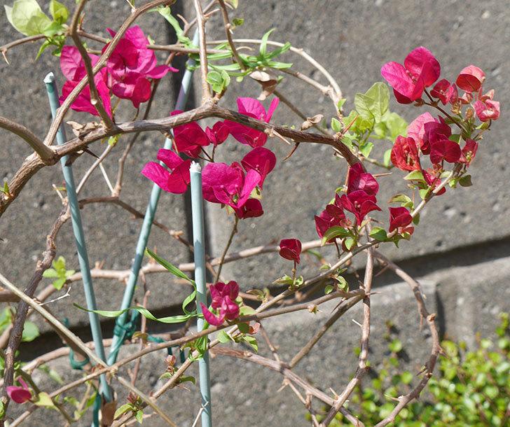 ブーゲンビリアが咲いた。2018年-4.jpg