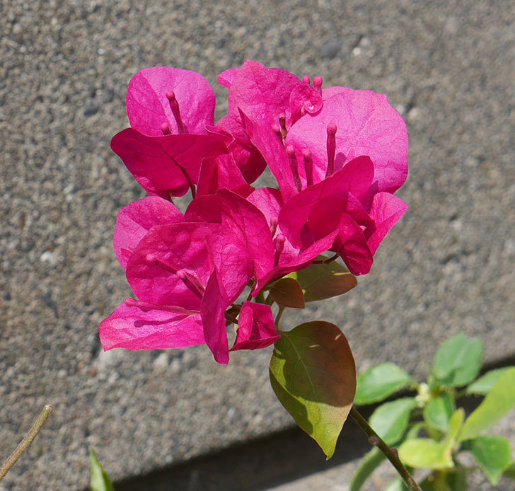 ブーゲンビリアが咲いた。2018年-5.jpg