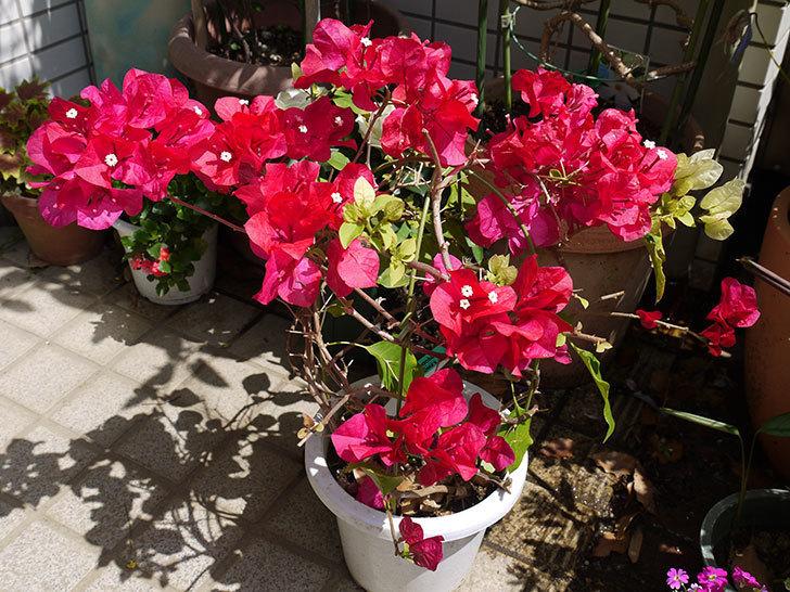 ブーゲンビリアをスリット鉢に植え替えた。2016年-2.jpg