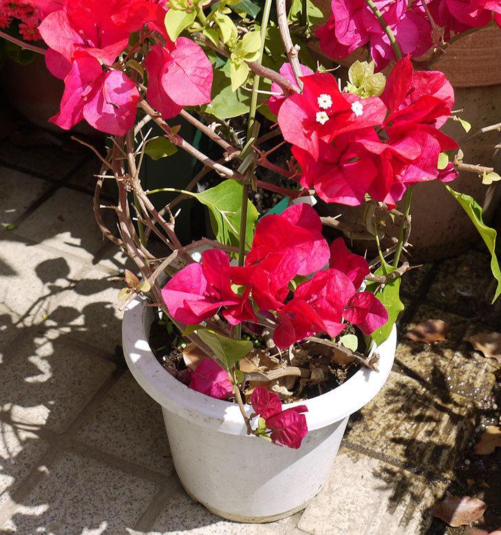 ブーゲンビリアをスリット鉢に植え替えた。2016年-3.jpg