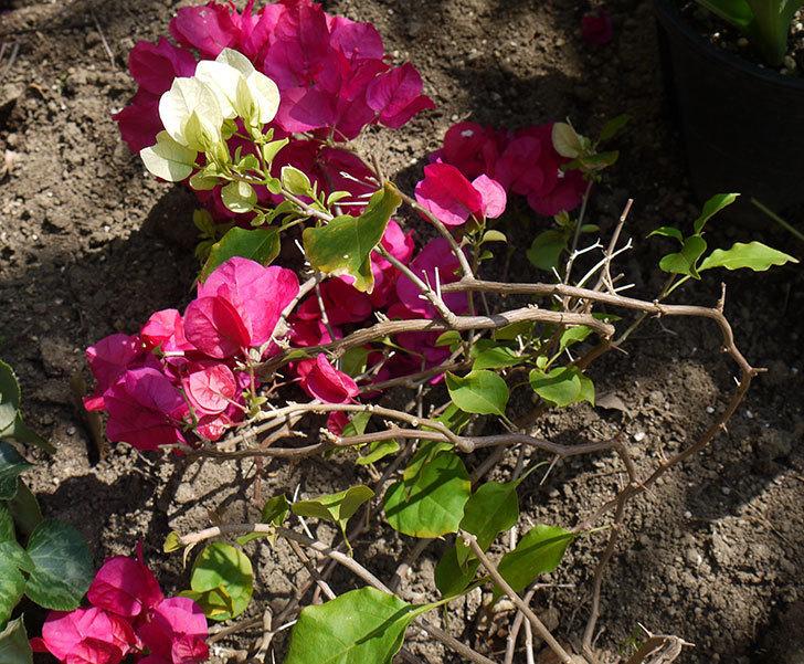 ブーゲンビリアをスリット鉢に植え替えた。2016年-5.jpg