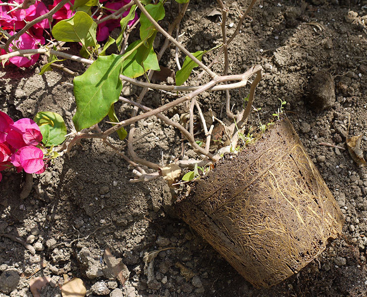 ブーゲンビリアをスリット鉢に植え替えた。2016年-6.jpg
