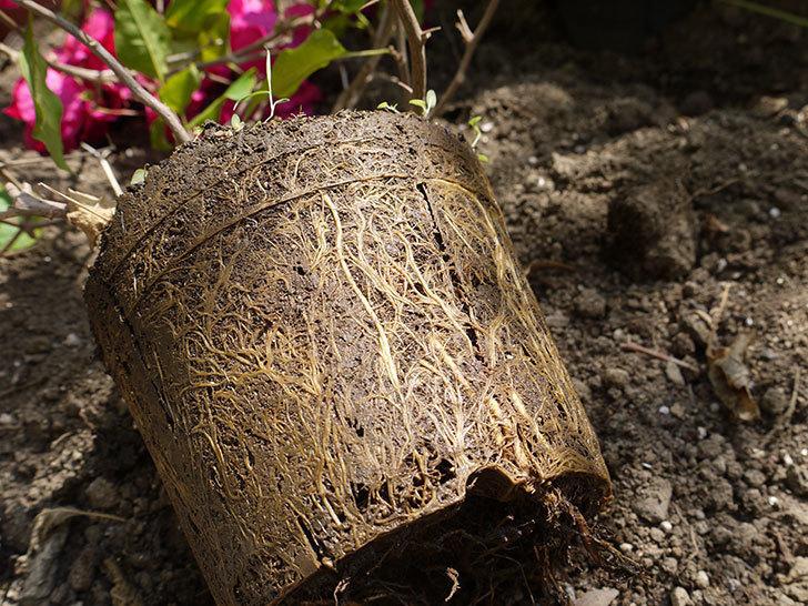 ブーゲンビリアをスリット鉢に植え替えた。2016年-7.jpg