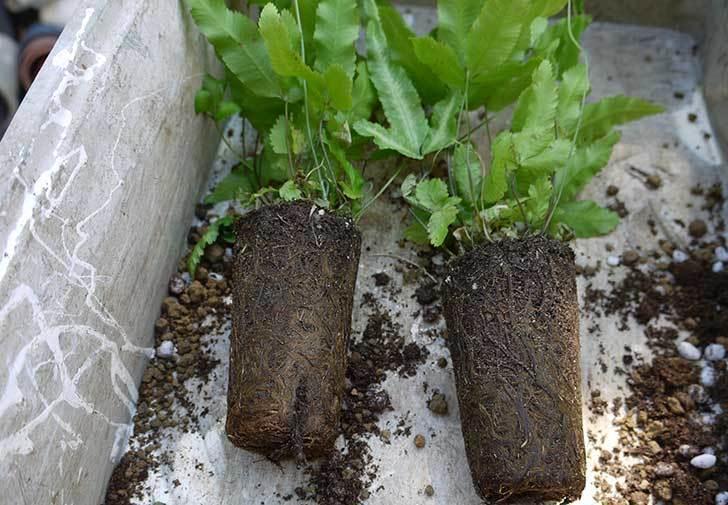 プテリス-アリボリネアータを鉢に植え替えた1.jpg