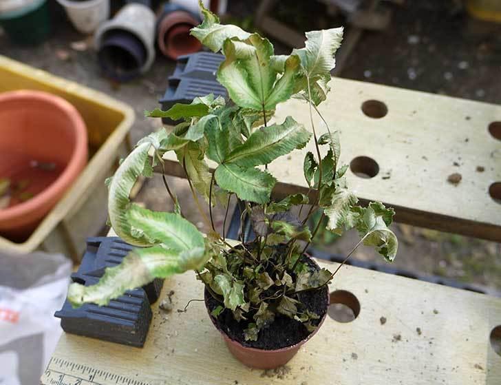プテリス-アリボリネアータを鉢に植え替えた8.jpg