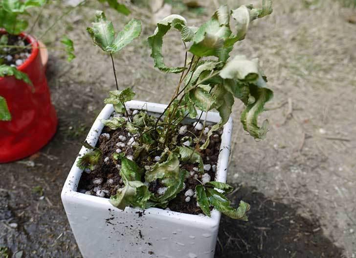 プテリス-アリボリネアータを鉢に植え替えた9.jpg