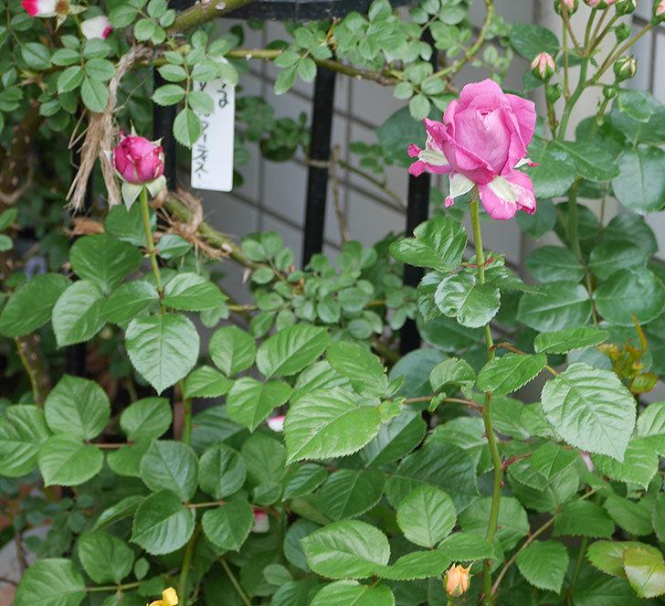 プラムダンディ(ミニバラ)が少し咲いた。2018年-2.jpg
