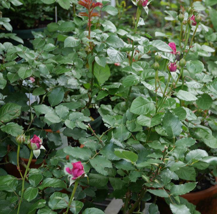 プラムダンディ(ミニバラ)が少し咲いた。2018年-5.jpg
