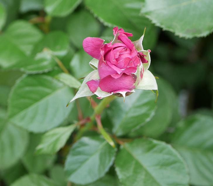 プラムダンディ(ミニバラ)が少し咲いた。2018年-8.jpg