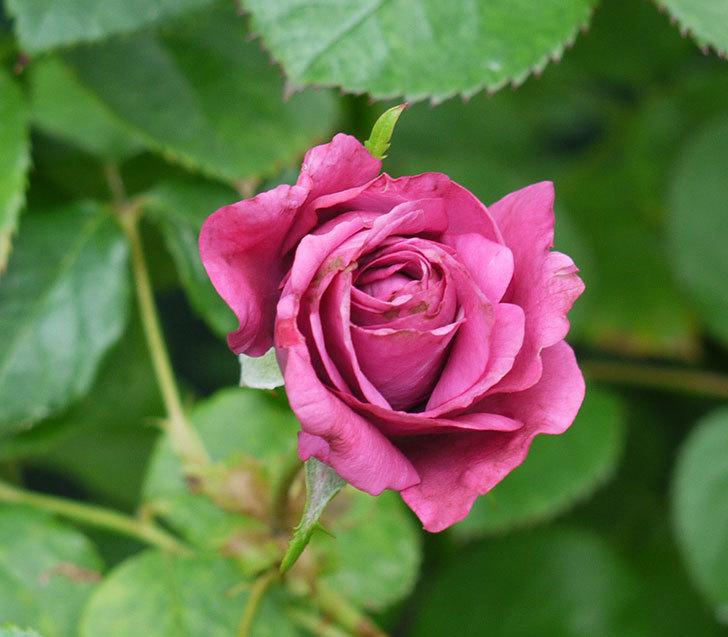 プラムダンディ(ミニバラ)の2番花が咲いた。2017年-1.jpg