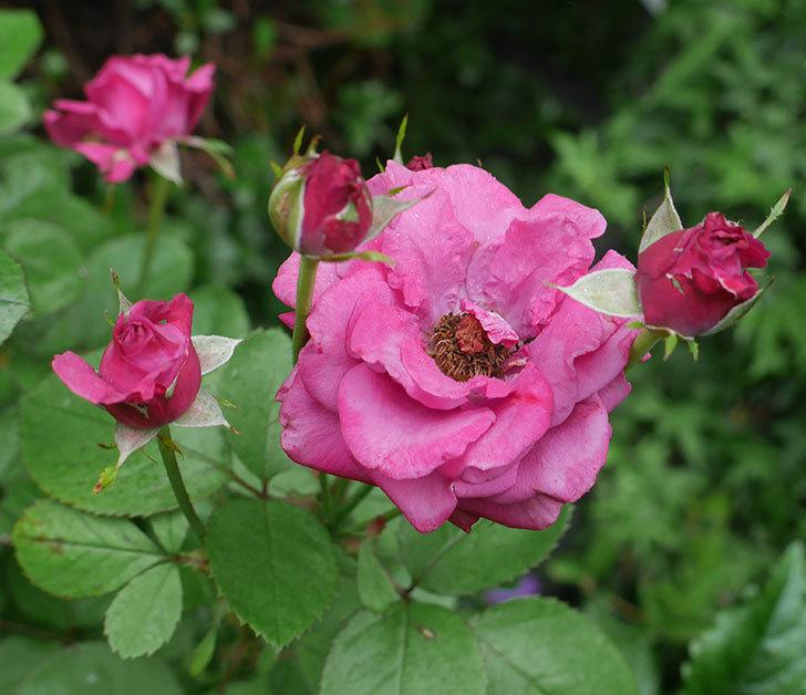 プラムダンディ(ミニバラ)の2番花が咲いた。2019年-1.jpg