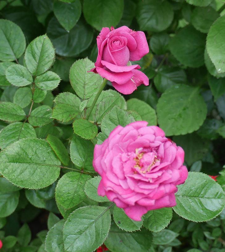 プラムダンディ(ミニバラ)の2番花が咲いた。2019年-2.jpg