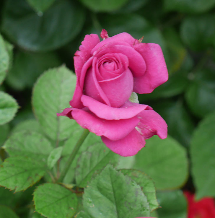 プラムダンディ(ミニバラ)の2番花が咲いた。2019年-3.jpg