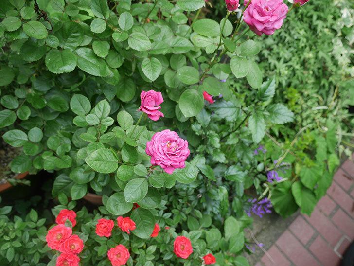 プラムダンディ(ミニバラ)の2番花が咲いた。2019年-5.jpg