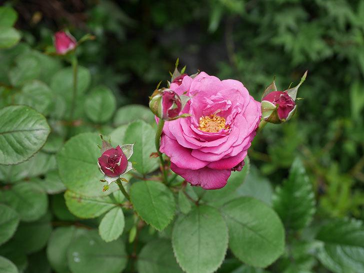 プラムダンディ(ミニバラ)の2番花が咲いた。2019年-7.jpg