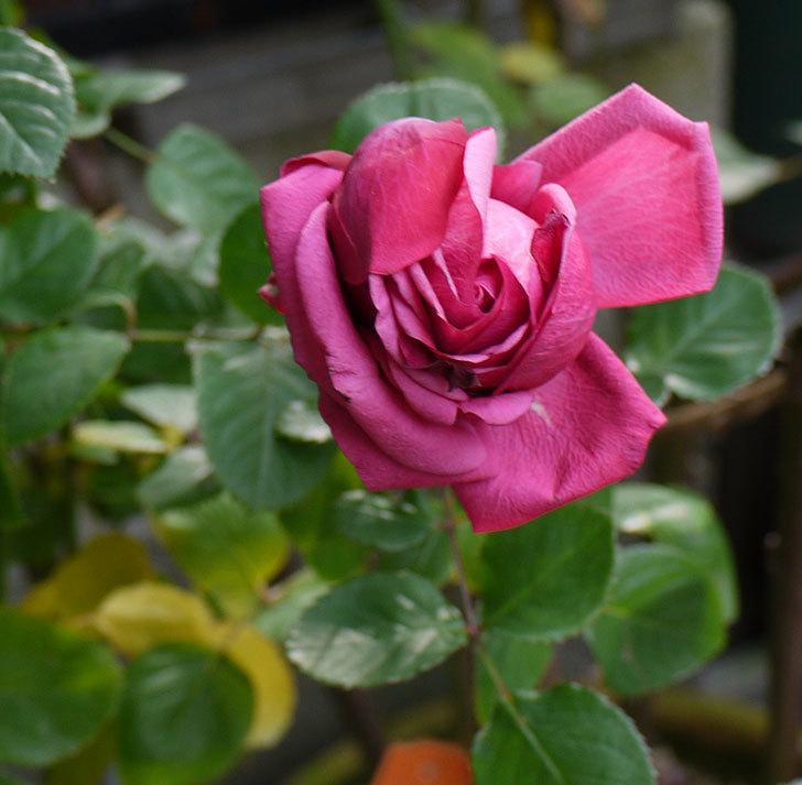プラムダンディ(ミニバラ)の今年最後の花が無事咲いた。2016年-1.jpg