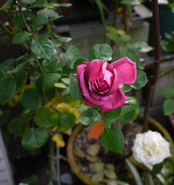 プラムダンディ(ミニバラ)の今年最後の花が無事咲いた。2016年-3.jpg