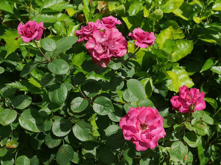 プラムダンディ(ミニバラ)の夏花が咲いた。2018年-1.jpg