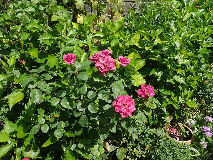 プラムダンディ(ミニバラ)の夏花が咲いた。2018年-5.jpg