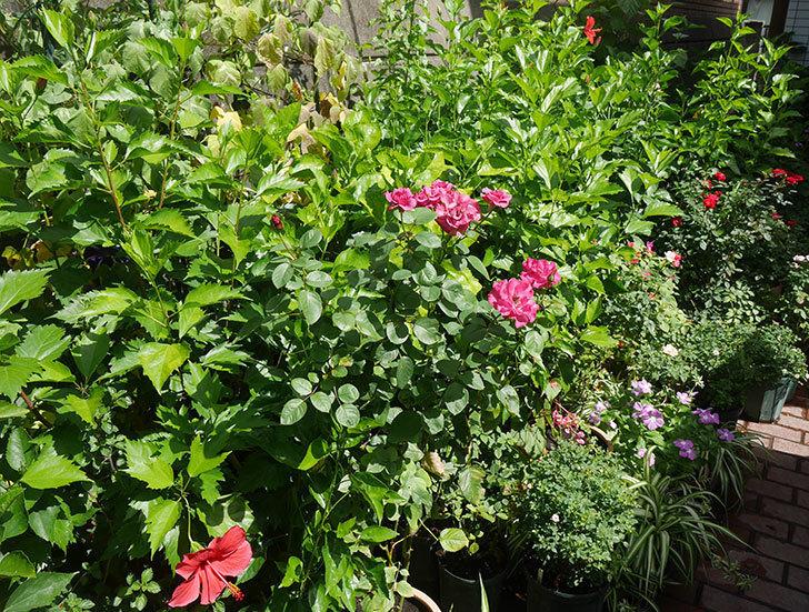 プラムダンディ(ミニバラ)の夏花が咲いた。2018年-6.jpg