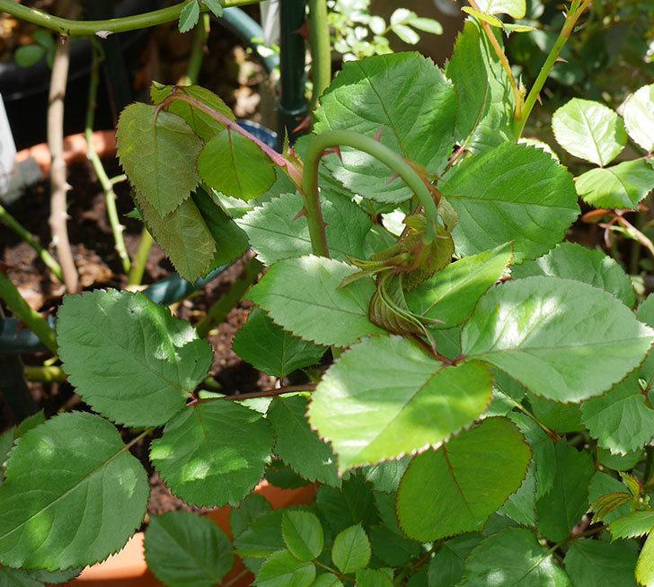 プラムダンディ(ミニバラ)の新芽がバラクキバチにやられて萎れてしまった。2018年-1.jpg