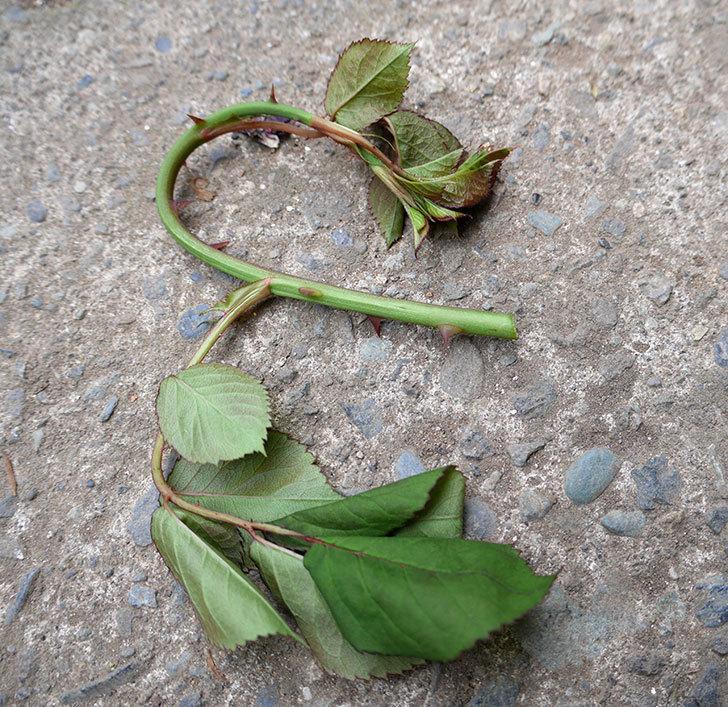 プラムダンディ(ミニバラ)の新芽がバラクキバチにやられて萎れてしまった。2018年-5.jpg
