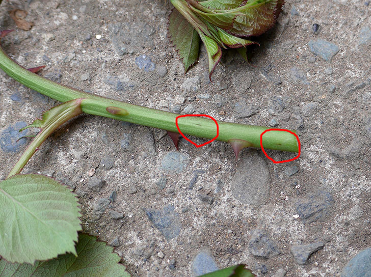 プラムダンディ(ミニバラ)の新芽がバラクキバチにやられて萎れてしまった。2018年-6.jpg