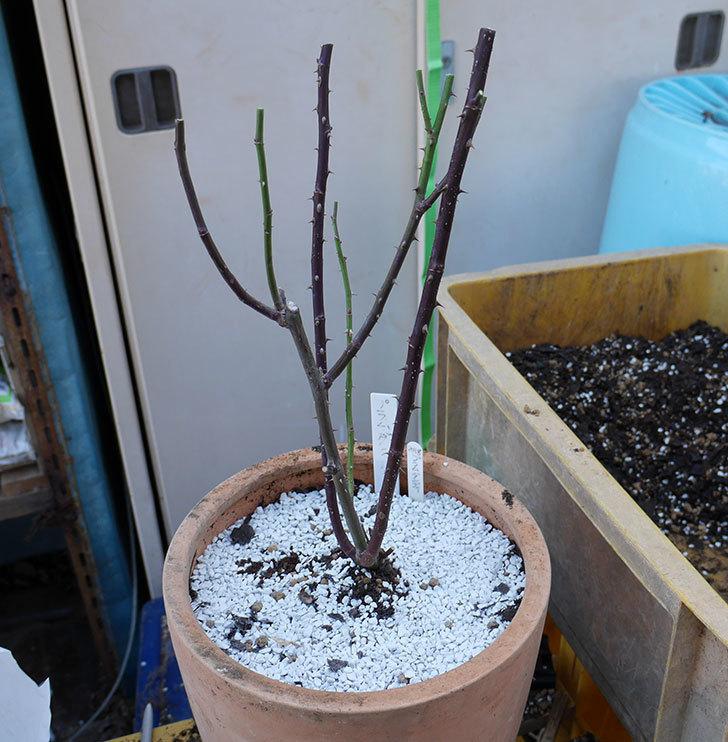 プラムダンディ(ミニバラ)の植え替えと冬剪定をした。2018年-1.jpg