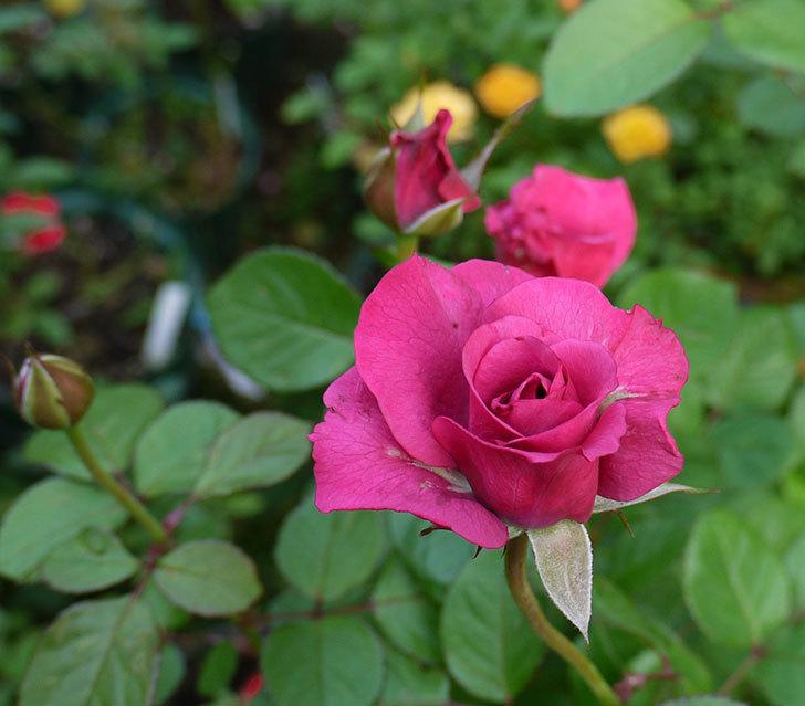 プラムダンディ(ミニバラ)の秋花が増えてきた。2016年-4.jpg