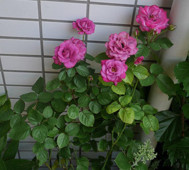プラムダンディ(ミニバラ)の花がまた咲いた。2018年-3.jpg