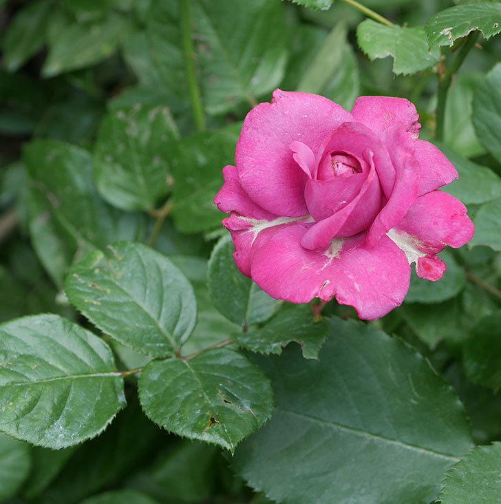 プラムダンディ(ミニバラ)の花がまた咲いた。2019年-1.jpg