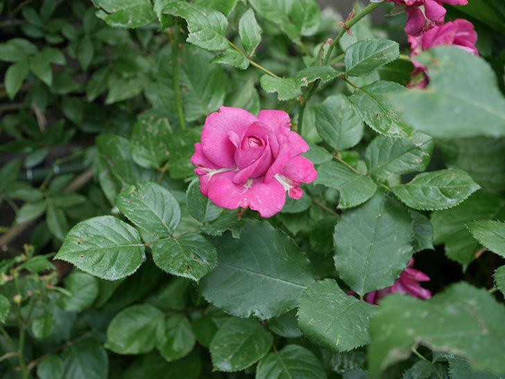 プラムダンディ(ミニバラ)の花がまた咲いた。2019年-2.jpg