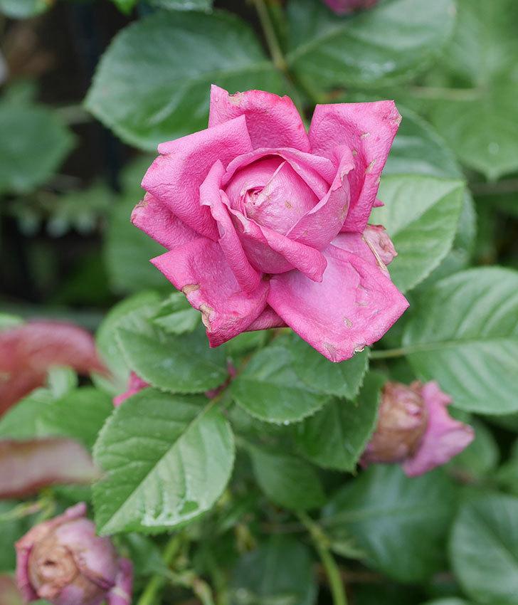 プラムダンディ(ミニバラ)の花がまた咲いた。2019年-6.jpg