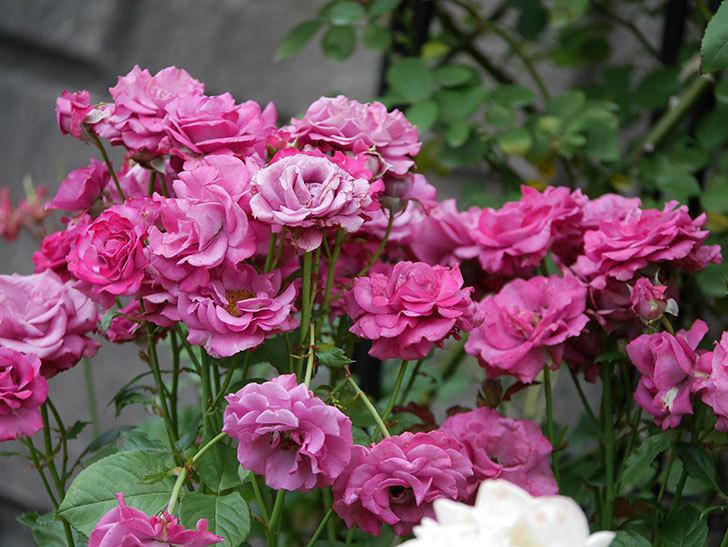 プラムダンディ(ミニバラ)の花がまた房でたくさん咲いた。2019年-1.jpg