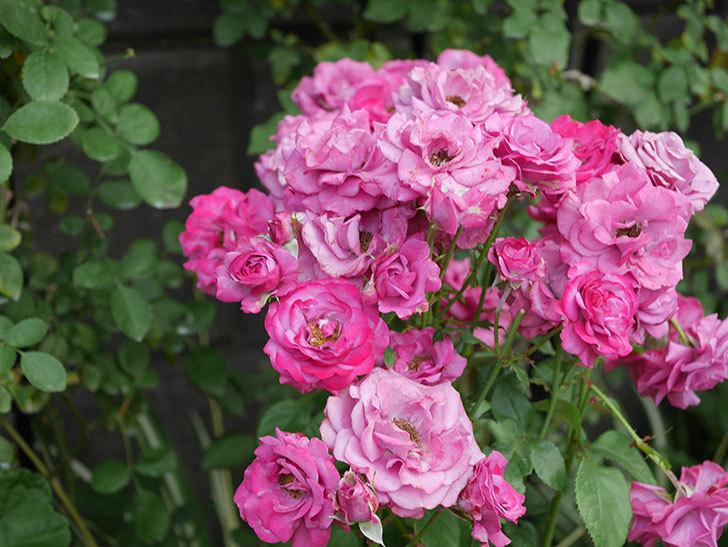 プラムダンディ(ミニバラ)の花がまた房でたくさん咲いた。2019年-11.jpg