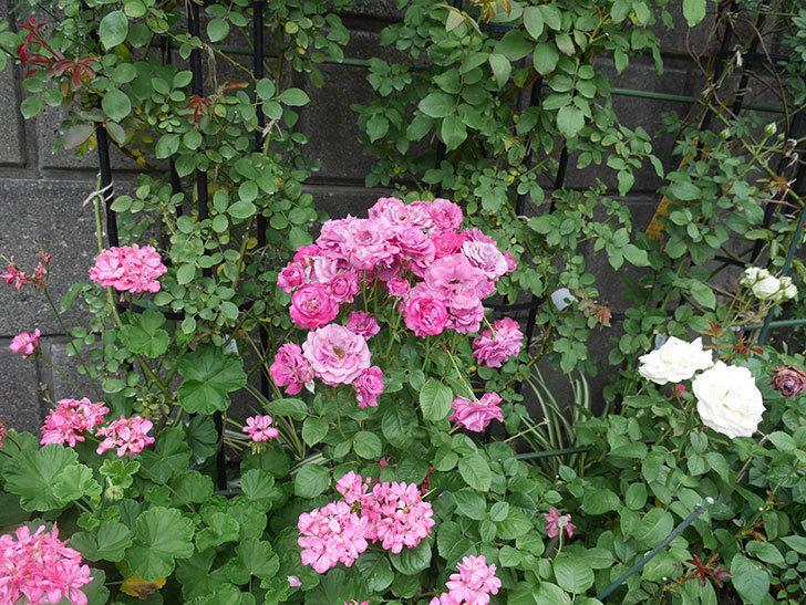 プラムダンディ(ミニバラ)の花がまた房でたくさん咲いた。2019年-13.jpg