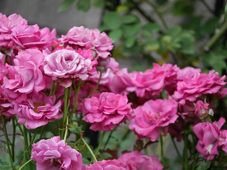 プラムダンディ(ミニバラ)の花がまた房でたくさん咲いた。2019年-2.jpg