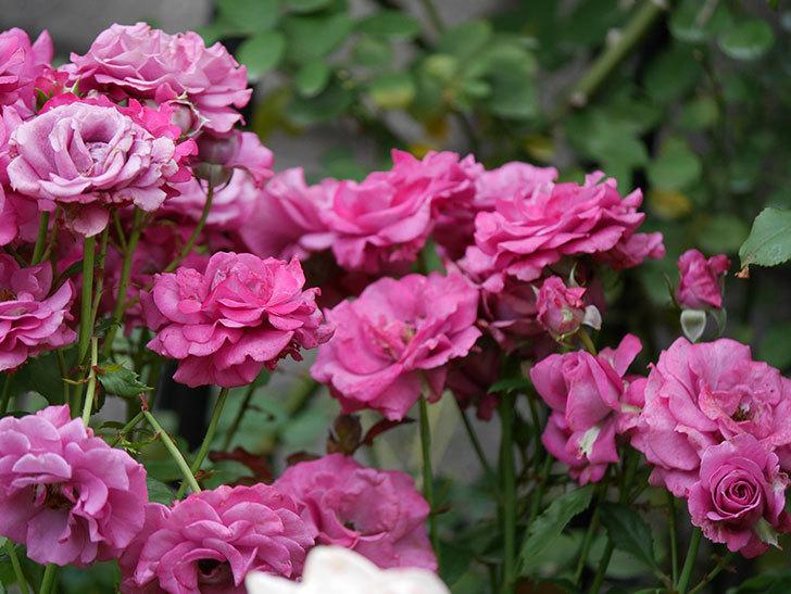 プラムダンディ(ミニバラ)の花がまた房でたくさん咲いた。2019年-3.jpg