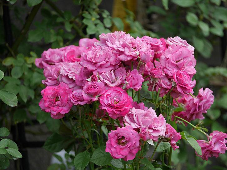 プラムダンディ(ミニバラ)の花がまた房でたくさん咲いた。2019年-5.jpg