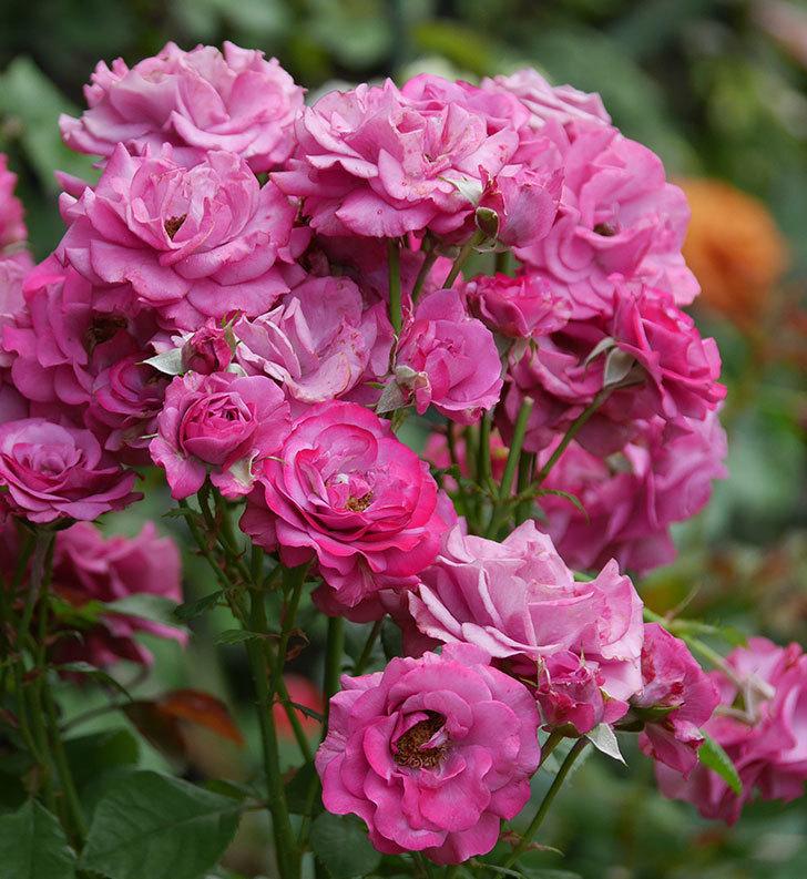 プラムダンディ(ミニバラ)の花がまた房でたくさん咲いた。2019年-7.jpg
